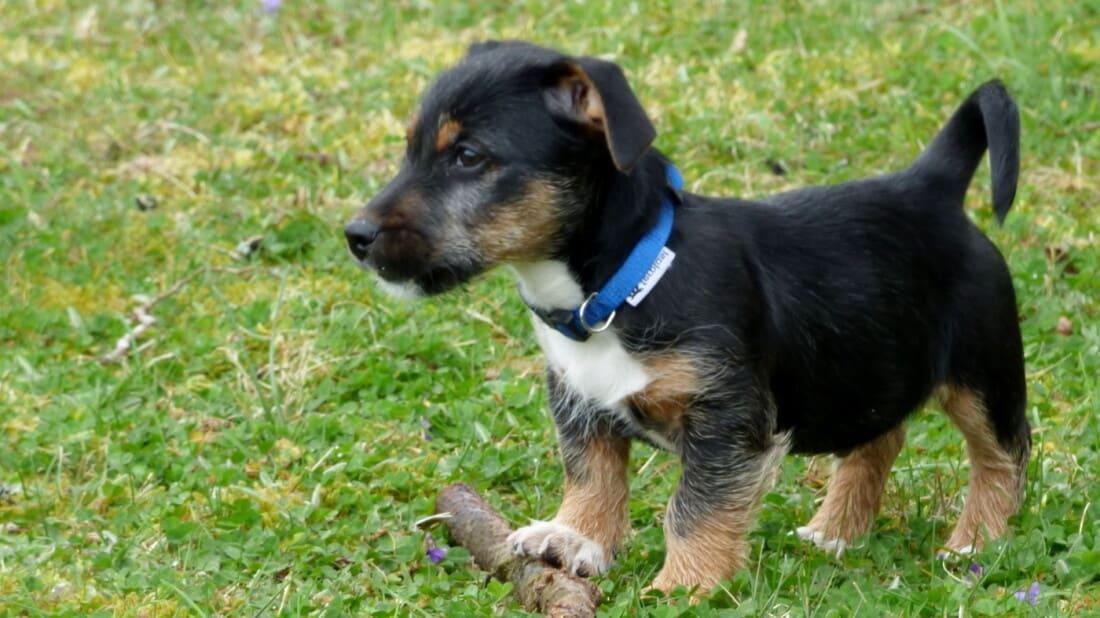 Hunderasse Jack Russell Terrier Welpe Im Gras Tierpuls