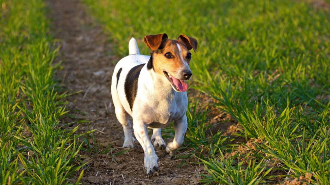 Hunderasse Jack Russell Terrier Wiese Mehrfarbig Tierpuls