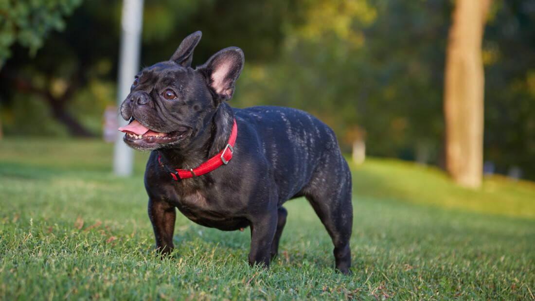 Hunderassen Franzoesische Bulldogge Schwarz Rasen Tierpuls