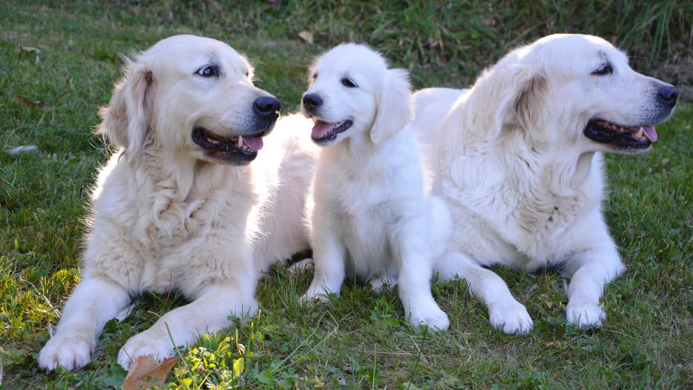 You are currently viewing Golden Retriever