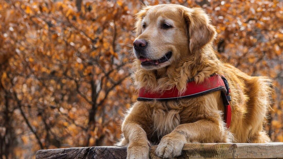 Hunderassen Golden Retriever Portrait Im Wald Tierpuls