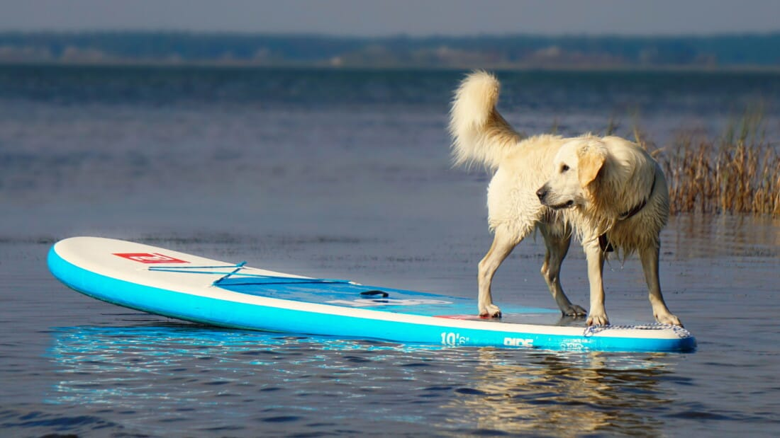 Hunderassen Golden Retriever Wasser Surfbrett Sport Tierpuls