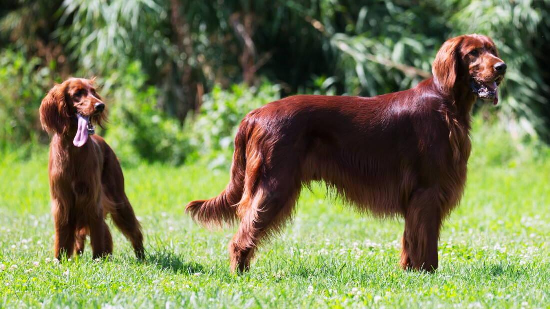 Hunderassen Irish Setter Portrait Zwei Hunde Wiese Tierpuls